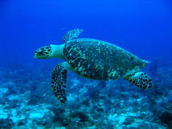 Hawksbill turtle swimming in blue water