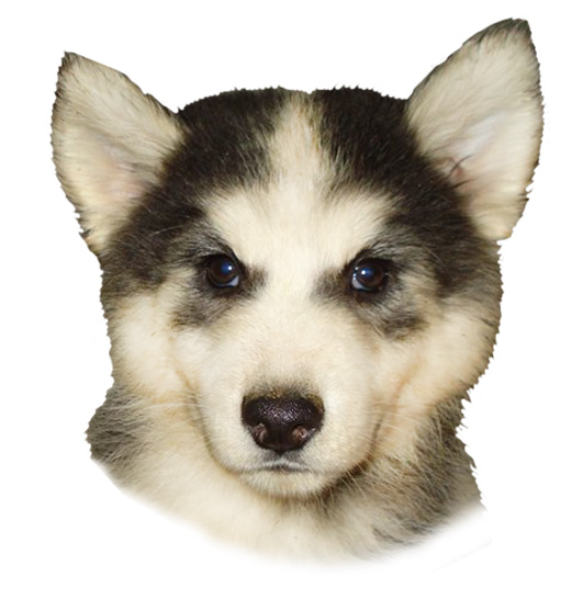 Head of puppy Alaskan Husky