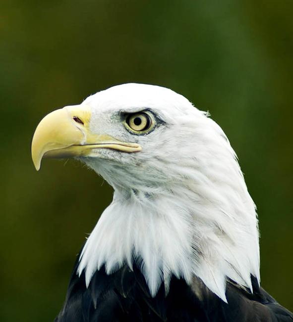 head of Bald Eagle