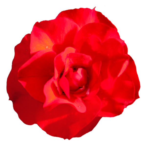 head of singel red red rose