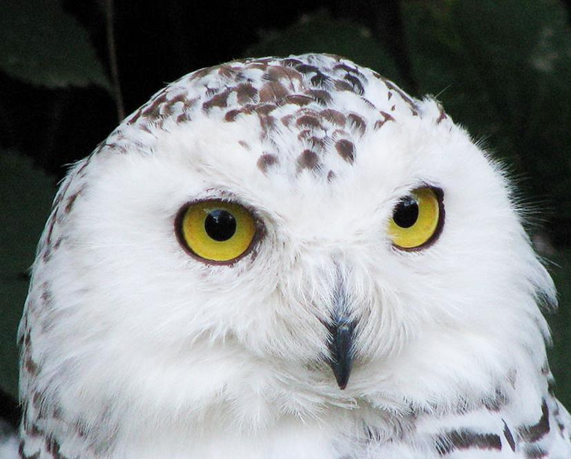 head of Snowy owl