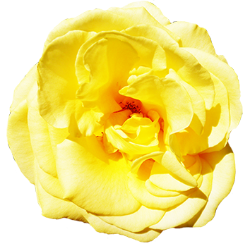 head of yellow rose clipart