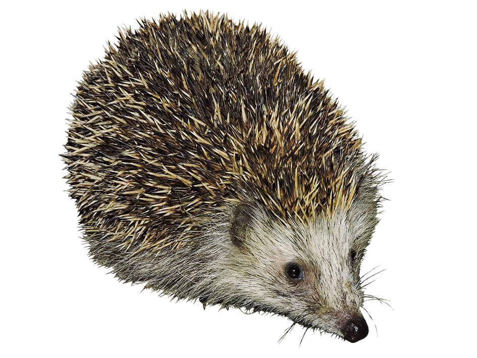 ­cut-out hedgehog transparent background