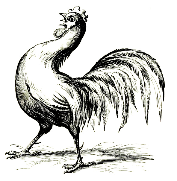 hen illustration