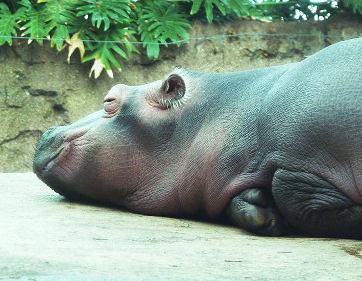 hippo baby sleeping on rock in zoo