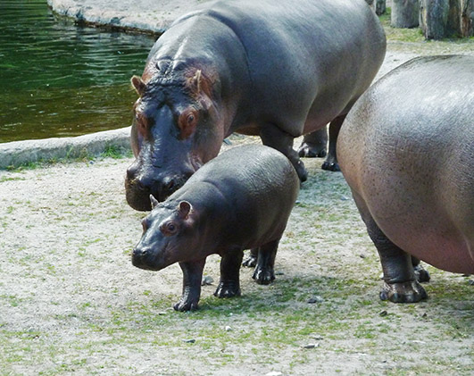 baby-hippo-and-mother