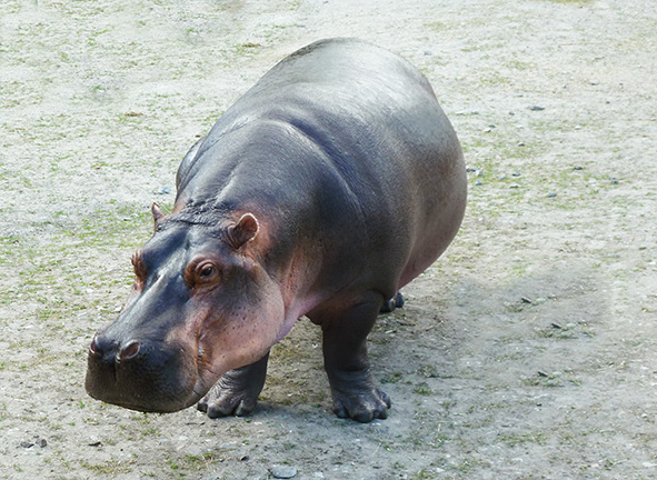 Beautiful amazing hippo