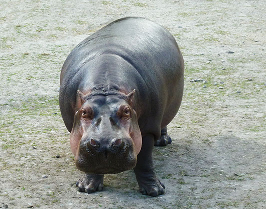 Big common hippo looking at you