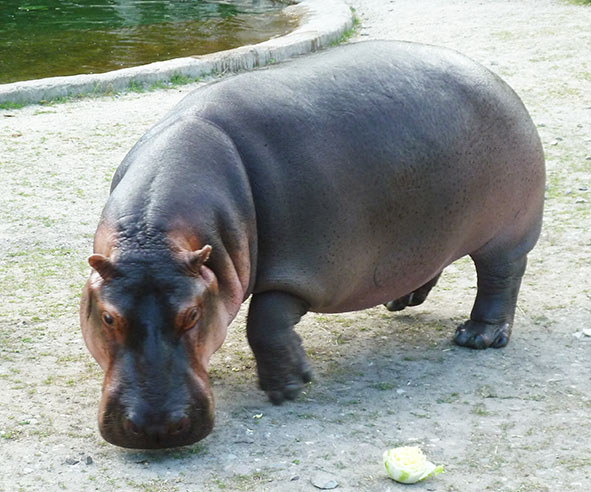 common hippo in zoo