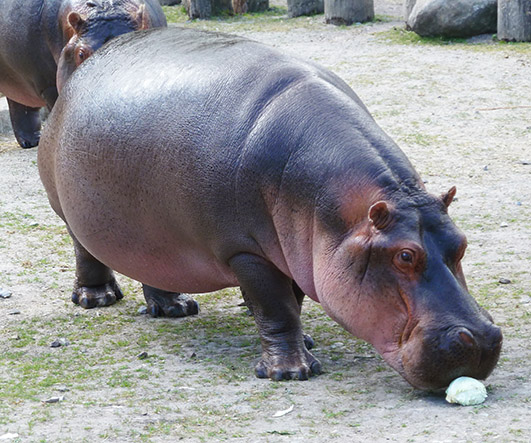 Big and hungry hippopotamus