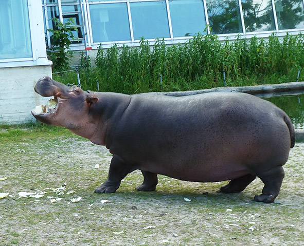 Common hippo eating