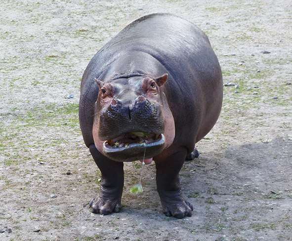 hungry hippo waiting for food
