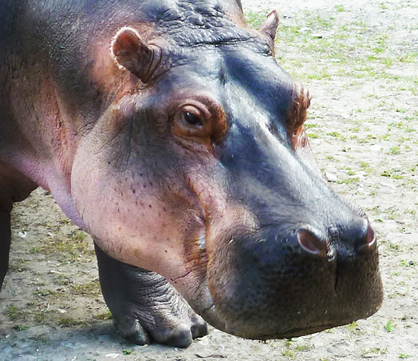 head of common hippo