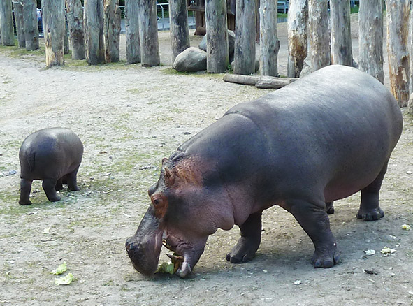 mother and baby hippo eating