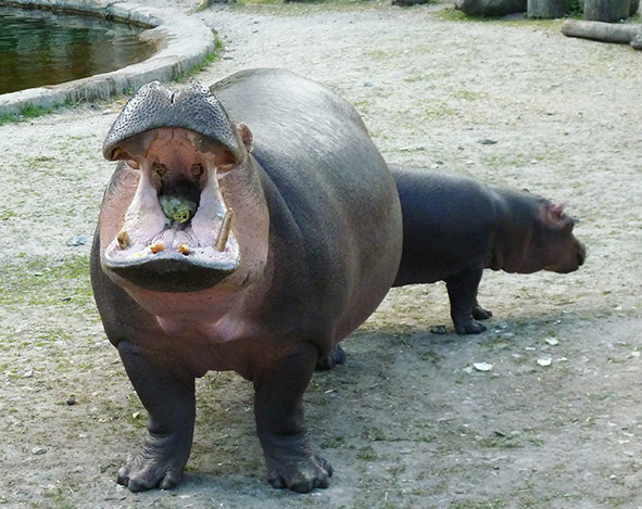 hippo teeth open mouth