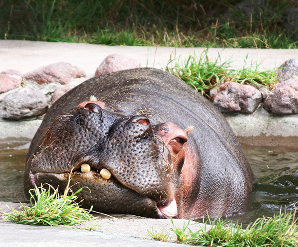 Sleepy hippopotamus