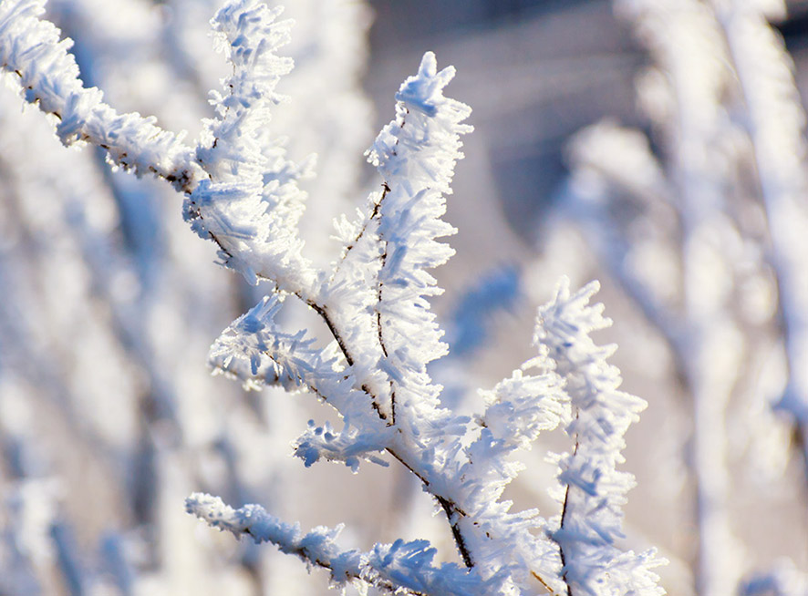 hoar-frost on branch