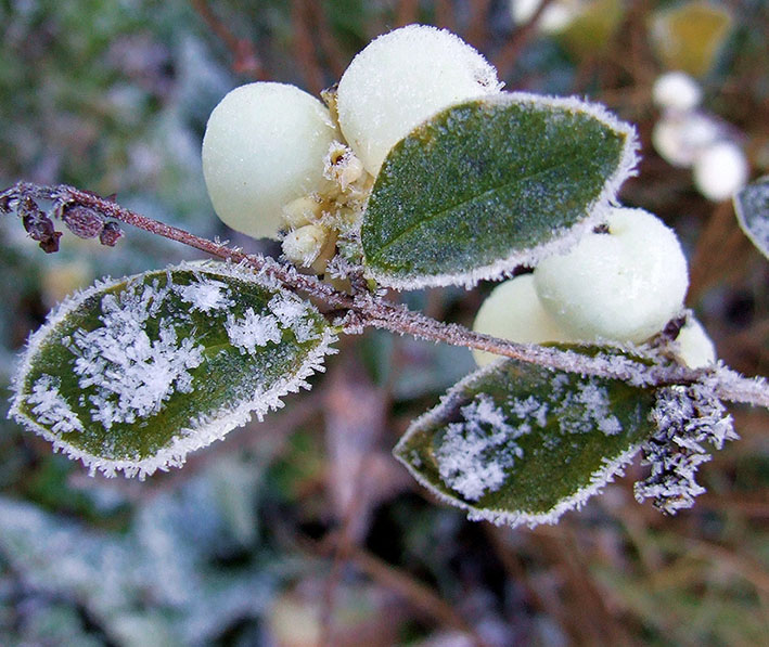 hoar-frost on snowberries