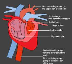 human heart diagram color deficiant