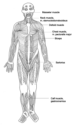 human body diagram muscles designation human body diagram medical clipart