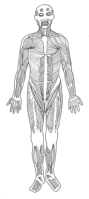 human body diagram muscles