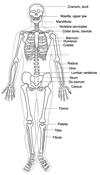 human body sceleton