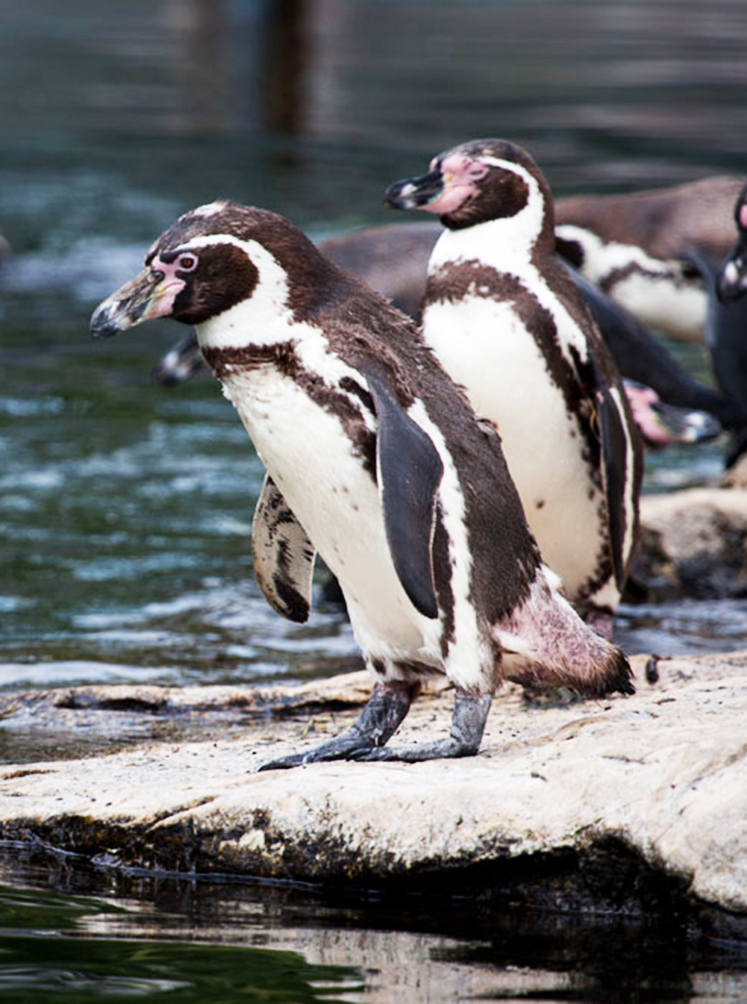 humboldt penguins in Zoo