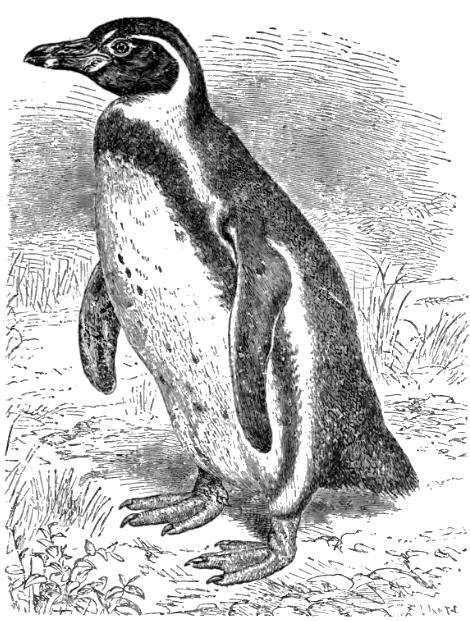 Humboldt penguin sketch