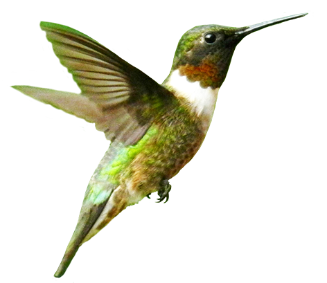 Humming-bird clip art