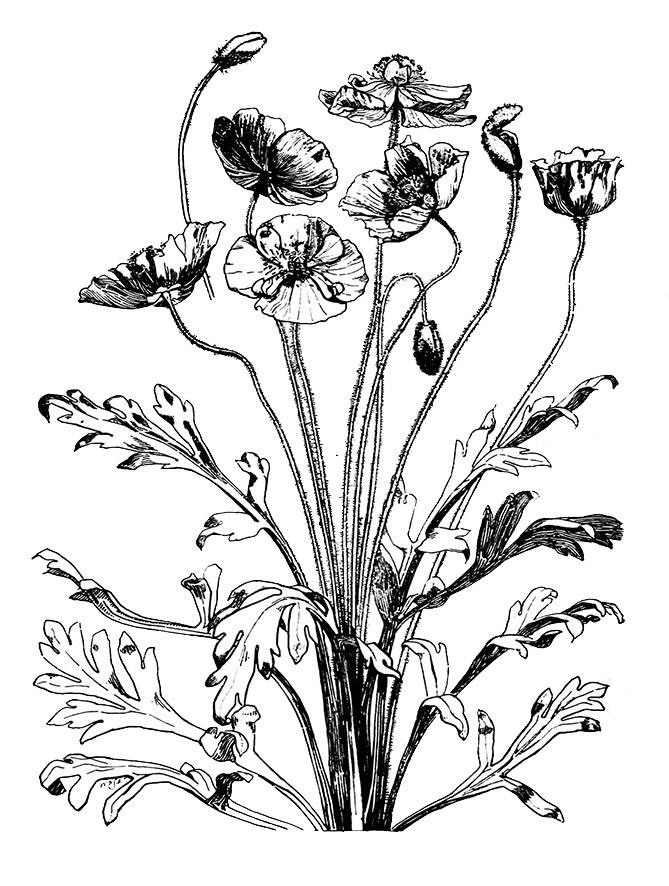Iceland Poppy sketch