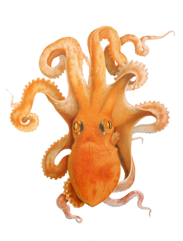 illustration of octopus