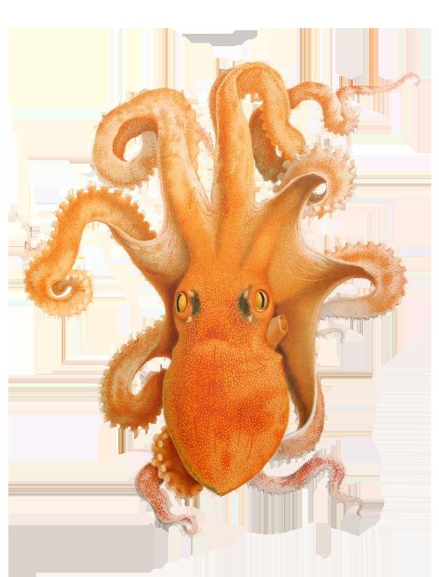illustration of octopus