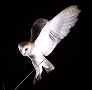 picture of flying owl