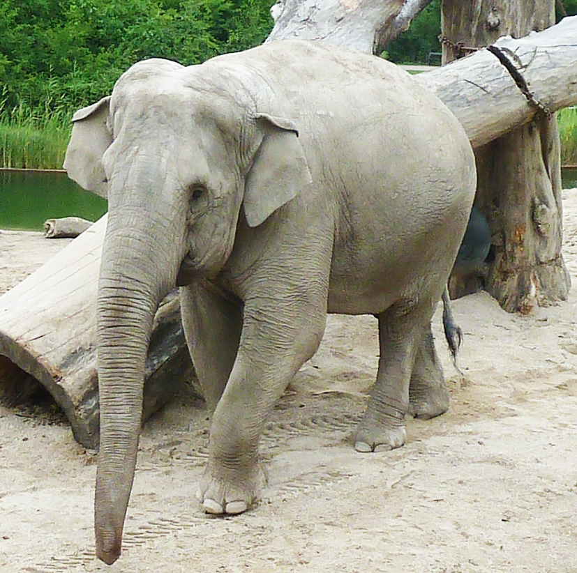Indian elephant in zoo