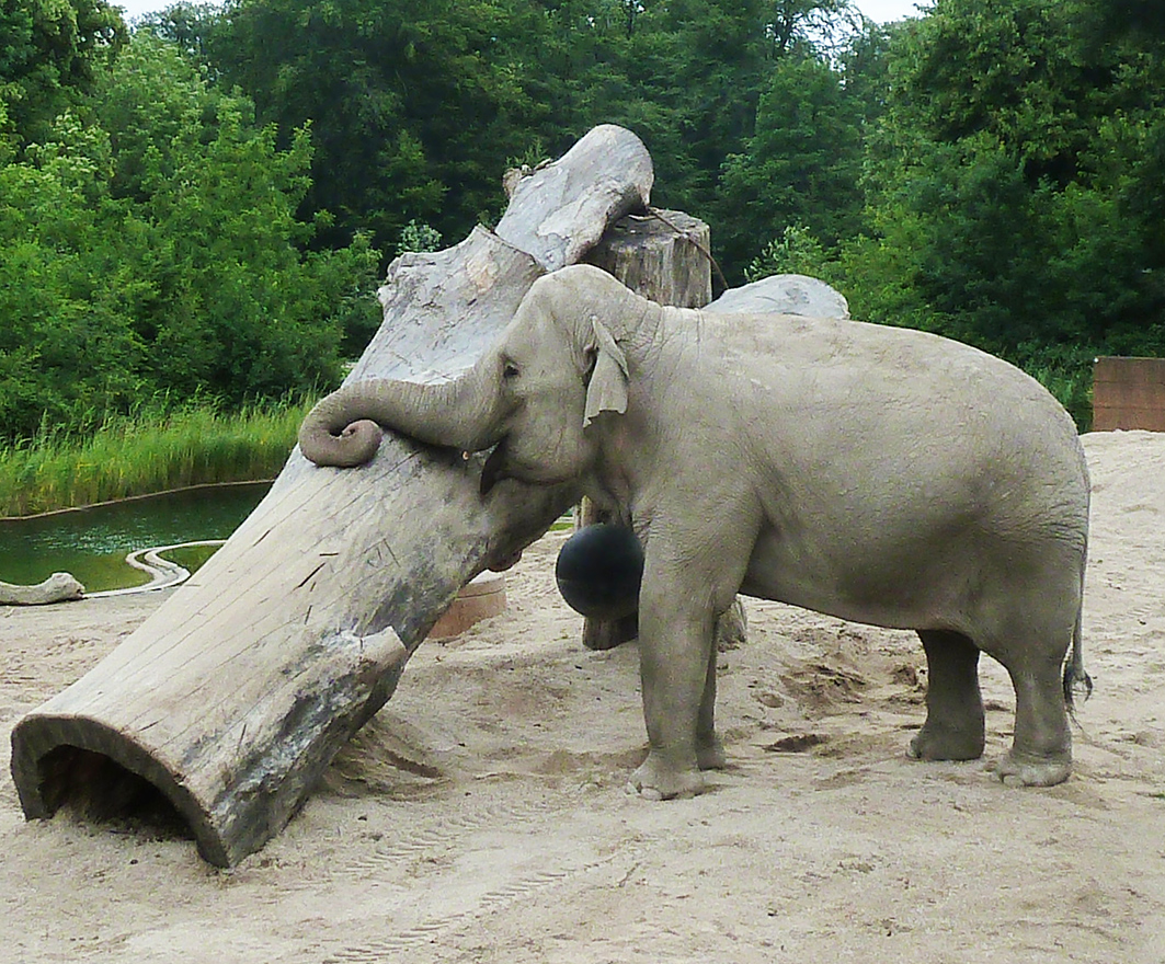 Indian elephant resting her trunk