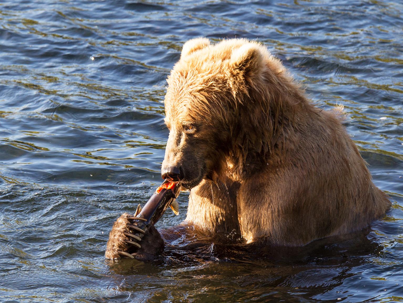kodiak brown bear eating salmon