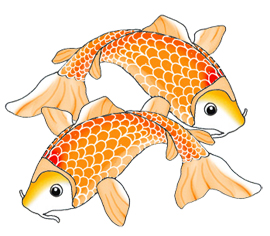 two koi fish swimming