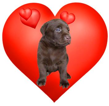 labrador puppy in love heart