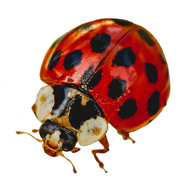 picture of ladybug