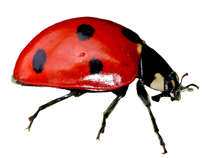 clip art cut-out ladybird