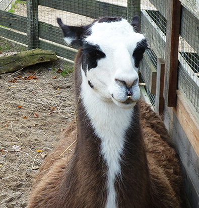 frontal picture of lama