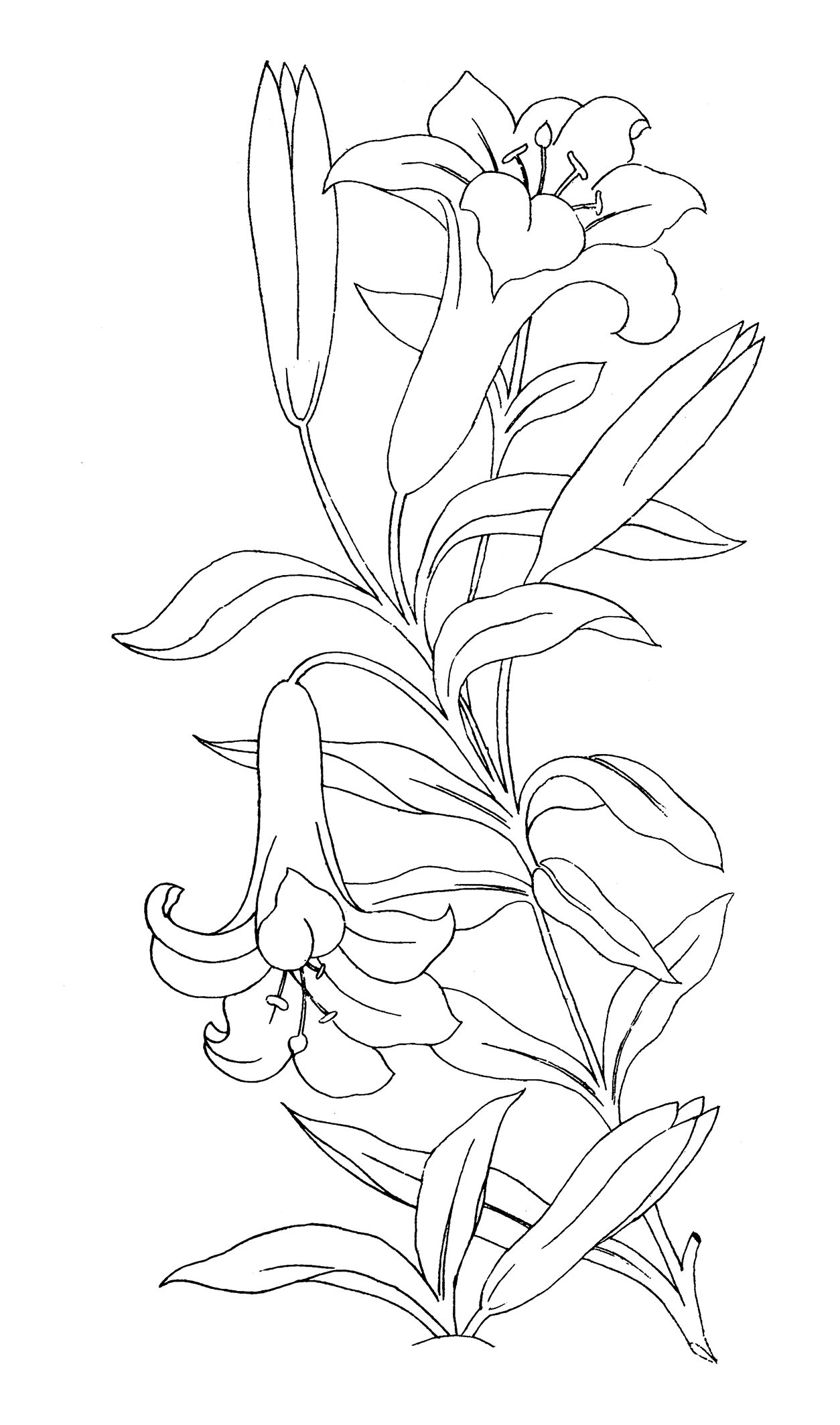 Lilies for coloring