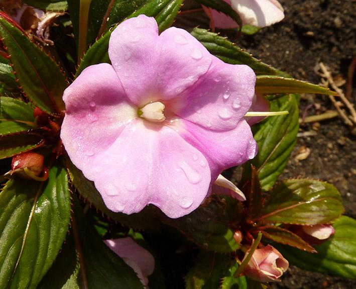 lilla flower with rain drops