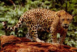 lion facts jaguar panthera onca