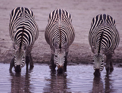 lion facts three zebras drinking