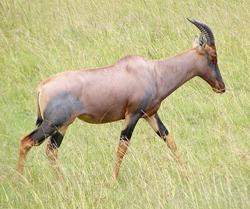 lion facts topi antelope