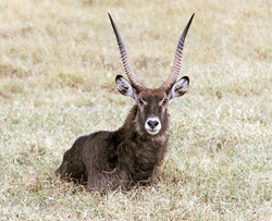 lion facts waterbuck