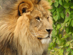 lion pictures african lion
