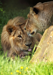 lion couple resting together