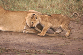 lion cub playing mothers tail